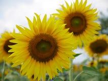 Sie sind große Sonnenblume lizenzfreie stockfotografie