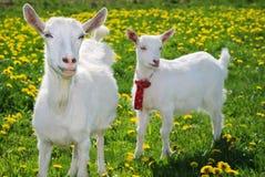 Sie-Ziege und Goatling Lizenzfreie Stockfotos