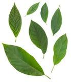 Sieben Avocadogrünblätter lokalisiert über Weiß stockbild