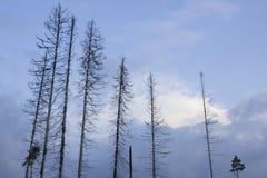 Sieben der getrockneten Tannenbäume gegen den Abendhimmel Stockbilder
