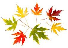 Sieben Herbstlaub der hohen Auflösung Ahornbaum Lizenzfreies Stockfoto