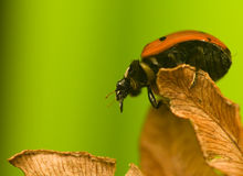 Sieben-Marienkäfer - Coccinella-septempunctata Stockbilder