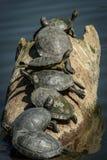 Sieben Schildkröten in Folge auf einem Klotz Stockbilder