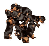 Sieben Welpen Yorkshires Terrier Stockbilder