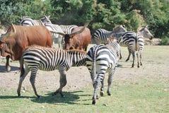 Sieben Zebras und zwei Büffel gehen über die grünen drass mit grünen Bäumen in der wilden Afrika-Safari hinaus Lizenzfreies Stockfoto