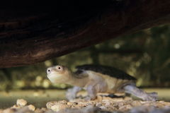 Siebenrock necked żółw Zdjęcia Royalty Free