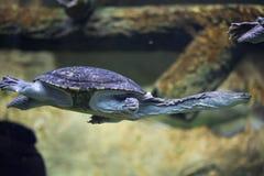 Siebenrock's snake-necked turtle (Chelodina siebenrocki). Wildlife animal royalty free stock images