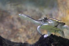 Siebenrock Snake-necked Turtle Stock Photos