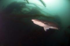 Siedem blaszek rekin Fotografia Stock