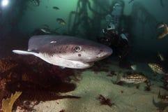 Siedem blaszek rekin Zdjęcie Royalty Free