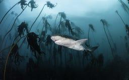 Siedem blaszek rekin Obraz Royalty Free