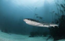 Siedem blaszek rekin Obrazy Royalty Free