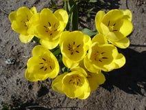 Siedem koloru żółtego tulipanu kwiatów Zdjęcia Stock