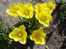 Siedem koloru żółtego tulipanu kwiatów Obraz Stock