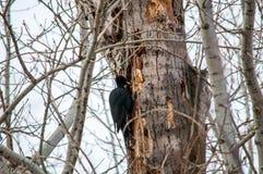 siedzący drzewny dzięcioł zdjęcia stock