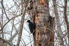 siedzący drzewny dzięcioł obraz stock