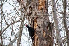 siedzący drzewny dzięcioł fotografia royalty free