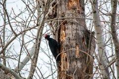 siedzący drzewny dzięcioł zdjęcie royalty free