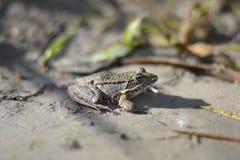 Siedząca żaba makro- Zdjęcie Royalty Free