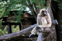 Siedząca gibon małpa na drewnianej beli Fotografia Stock