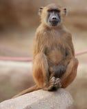 Siedząca małpa Zdjęcia Stock