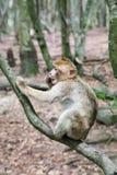 Siedząca małpa przy Affenberg w Salem, Niemcy (Małpi wzgórze) Fotografia Stock