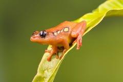 Siedząca Złota turzycy żaba Fotografia Royalty Free