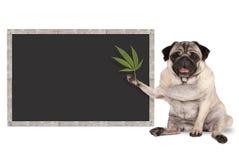 Siedzącego uśmiechniętego mopsa szczeniaka psa mienia konopiany liść z pustym blackboard znakiem, zdjęcia stock