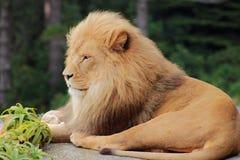 Siedzący Męski lew (Panthera Leo) Obraz Royalty Free