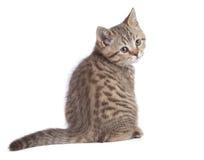 Siedzący młody kot folował długość tylni widok obracającego kamera odizolowywająca obraz royalty free