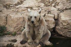 Siedzący niedźwiedź Fotografia Royalty Free
