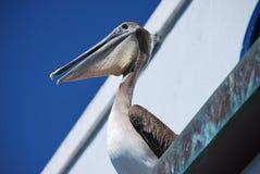 Siedzący pelikan Zdjęcia Royalty Free