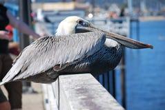 Siedzący pelikan Zdjęcie Stock