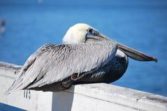 Siedzący pelikan Fotografia Stock