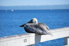 Siedzący pelikan Zdjęcie Royalty Free