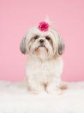 Siedzący shih tzu pies jest ubranym łęk Fotografia Stock