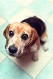 Siedzący beagle Obrazy Royalty Free