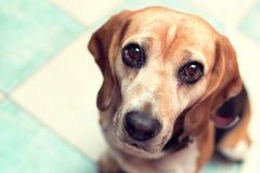 Siedzący beagle Fotografia Royalty Free