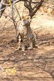 Siedz?cy gepard obraz royalty free