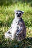 Siedzący lemur Obraz Royalty Free