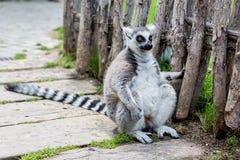 Siedzący lemur zdjęcia royalty free
