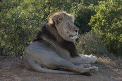 Siedzący lew Obraz Stock