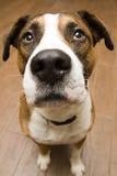 Siedzący pies Obraz Royalty Free