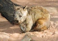 siedzący wombat Zdjęcia Stock