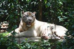 siedzi tygrysiego biel Zdjęcia Royalty Free