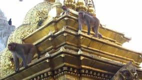 Siedzieć małpy na Swayambhunath małpy świątyni. Nepal zdjęcie wideo