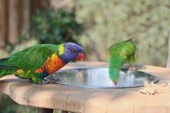 Sieht wie ein Regenbogen lorikeet Papagei ist Trinkwasser von einer Schüssel aus stockbild