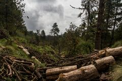 Siekający drzewa na meksykańskim lesie z dramatycznym chmurnym niebem Zdjęcia Stock