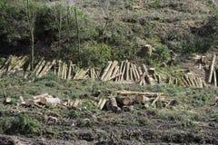 Siekaj?ca drewniana beli sterta dla po?arniczego miejsca na lasowych lasach w domu zielenieje biomass energi? obraz royalty free