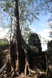 Siem Reap. Tree in Siem Reap holding temple together stock photo